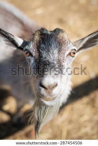 Portrait of goat in national park.