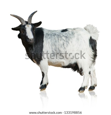 Portrait of a goat skull isolated on a white background - stock photo