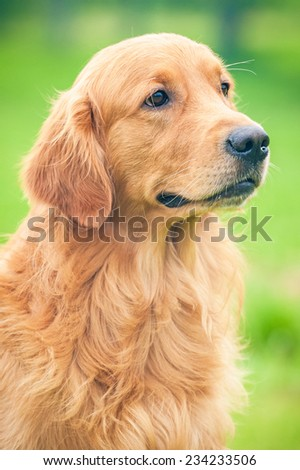 Portrait of golden retriever  - stock photo