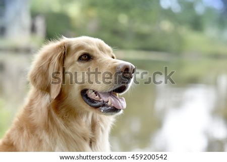 Portrait of golden retriever dog