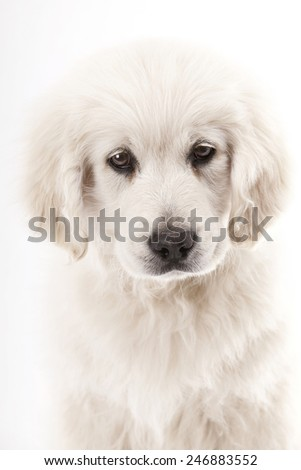 portrait of Golden Retriever puppy, 2 months old, white background - stock photo