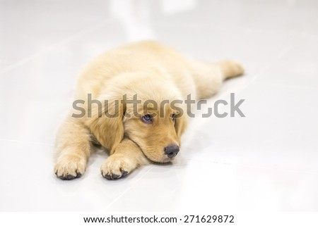 Portrait of golden retriever puppy on the floor at room