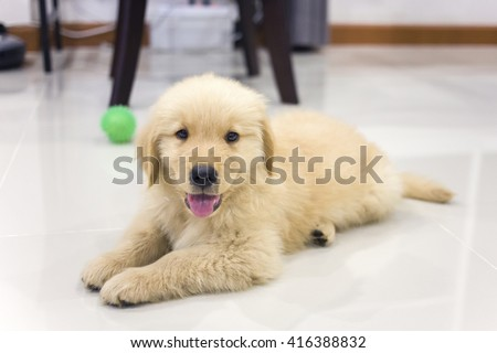 Portrait of golden retriever puppy on the floor at room - stock photo