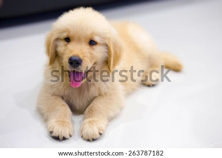 Portrait of golden retriever puppy sitting on the floor at room