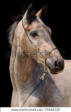 Portrait of gray sportive horse isolated on black background - stock photo