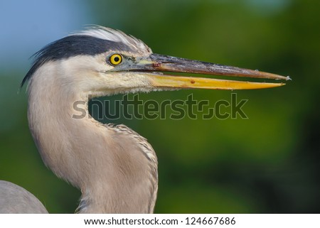Portrait of Great blue heron (Ardea herodias,) - stock photo