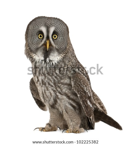 Portrait of Great Grey Owl or Lapland Owl, Strix nebulosa, a very large owl, standing in front of white background - stock photo