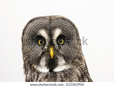 Portrait of Great Grey Owl or Lapland Owl (Strix nebulosa) isolated on a white background  - stock photo