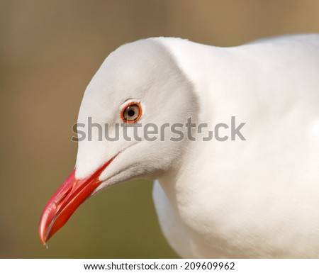 Portrait of grey-headed gull (Chroicocephalus cirrocephalus) - stock photo