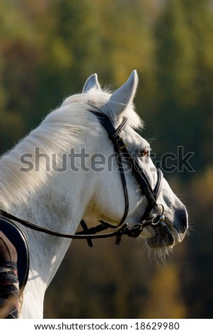 portrait of grey horse in sunset - stock photo