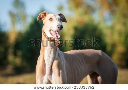 Portrait of greyhound  - stock photo