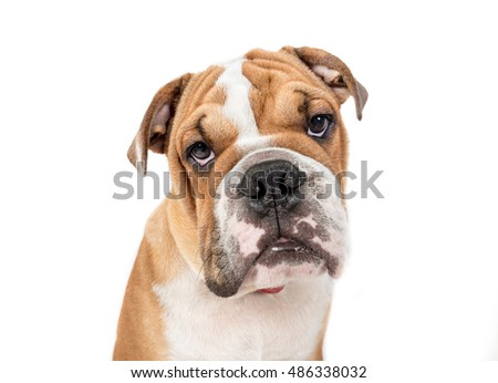 Portrait of grumpy English bulldog pup isolated on white background