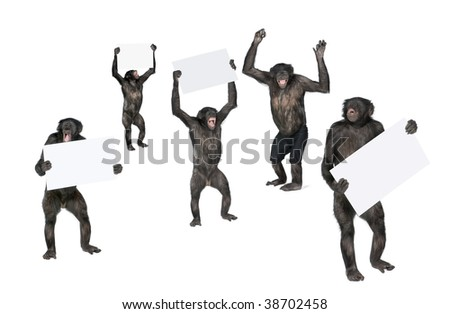 Portrait of happy chimpanzees holding signs against white background, studio shot; (Mixed-Breed between Chimpanzee and Bonobo) (20 years old) - stock photo
