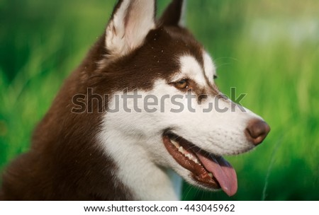 Portrait of heavy breathing Siberian husky dog. Brown fur and bright eyes. Cute domestic breed, good for family and kids - stock photo
