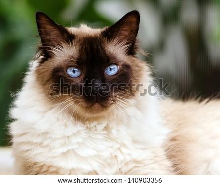 Portrait of Himalayan cat - stock photo