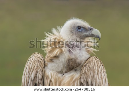 Portrait of Himalayan Griffon, vulture. Majestic animal, bird. - stock photo