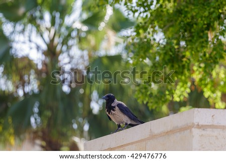 Portrait of hooded crow who standing on wall - stock photo