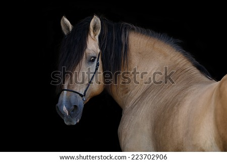 Portrait of horse on black background