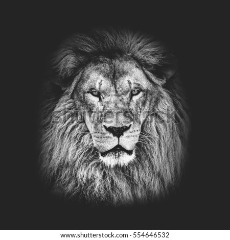 Portrait of huge beautiful male African lion against black background in black and white matte tone