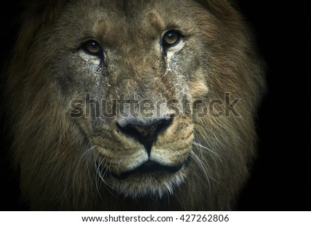Portrait of huge beautiful old male African lion against black background - stock photo