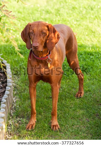 Portrait of Hungarian Vizsla dog standing on the garden, Hungarian-Short haired Pointing Dog - stock photo