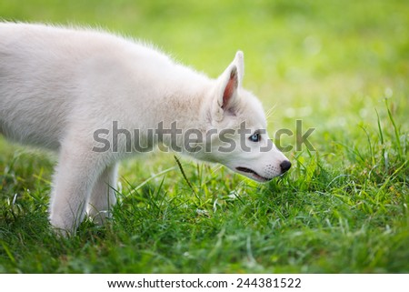 Portrait of husky on a green background