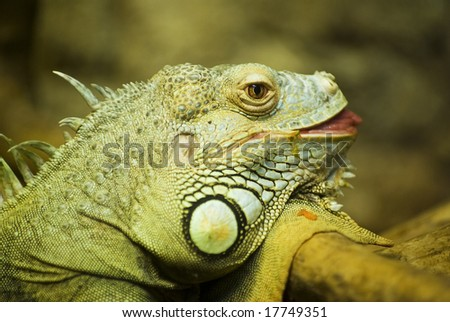 Portrait of iguana - stock photo