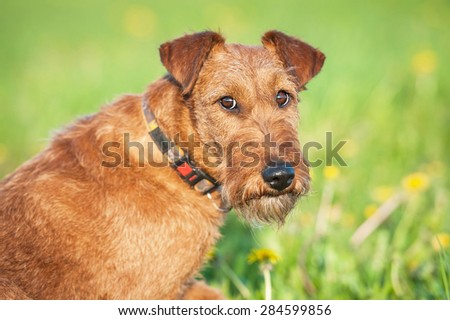 Portrait of irish terrier dog looking back