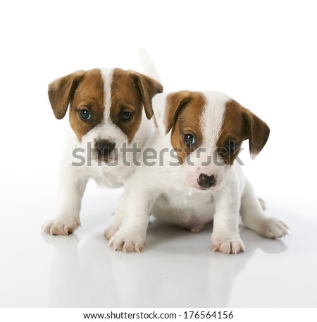 Portrait of Jack Russel puppies on white background