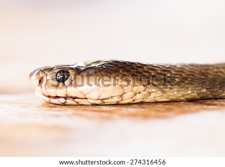 Portrait of King Cobra snake. - stock photo