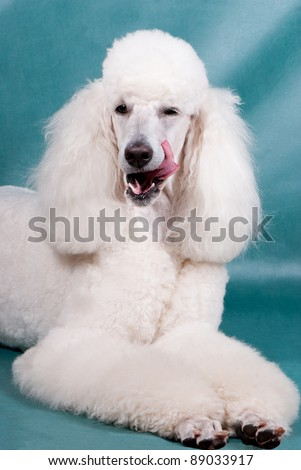 Portrait of  King size white poodle yawning and licking his lips