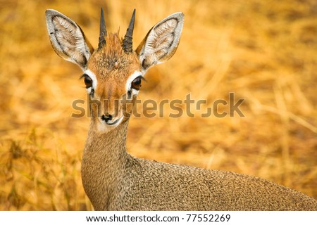 Portrait of Kirk's dik-dik (Madoqua kirkii), Samburu, Kenya - stock photo