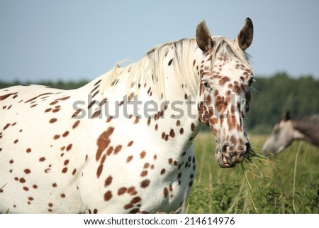 Portrait of knabstrupper breed horse - white with brown spots on coat - stock photo