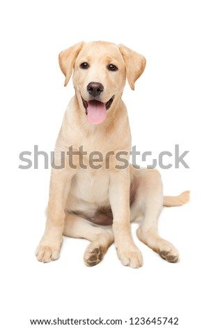 Portrait of labrador retriever puppy - stock photo