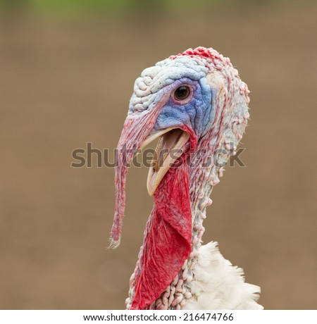 Portrait of large turkey cock on farm - stock photo