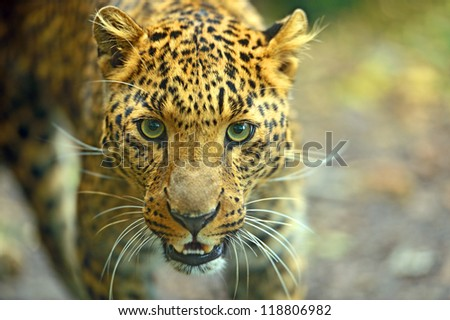 Portrait of Leopard