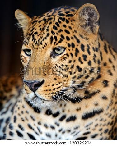 Portrait of Leopard - stock photo