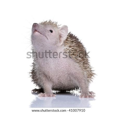 Portrait of Lesser Hedgehog Tenrec, Echinops telfairi, in front of white background - stock photo