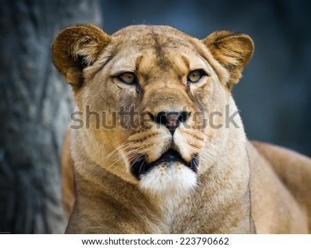 Portrait of lion - stock photo