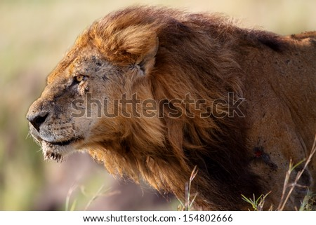 Portrait of Lion Clawed the oldest and most powerful lion from the marsh in Masai Mara, Kenya - stock photo