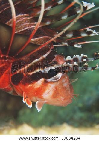 portrait of lion fish - stock photo