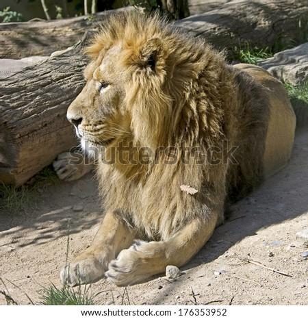 Portrait of lion male. Latin name - Panthera leo - stock photo