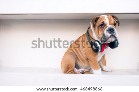 Portrait of little grumpy English bulldog puppy,selective focus
