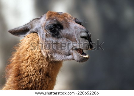 Portrait of Llama from South America in the zoo - stock photo