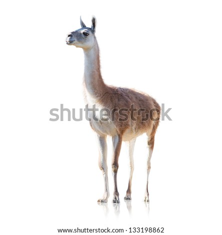 Portrait Of Llama Isolated On White Background - stock photo