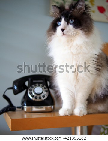 Portrait of Long Haired Bi-Color Brown White Blue Eyed Ragdoll Cat sitting with Vintage Black Rotary Phone on Wooden Side Table - stock photo