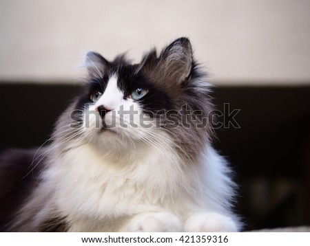 Portrait of Long Haired Bi-Color Brown White Blue Eyed Ragdoll Cat with a black button nose  - stock photo