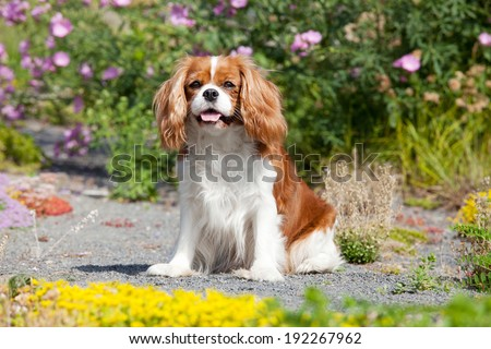 Portrait of lovely Cavalier King Charles spaniel - stock photo
