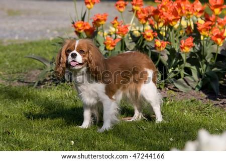 Portrait of lovely Cavalier King Charles spaniel - stock photo