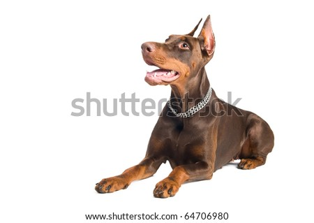 Portrait of lying purebred brown Doberman pinscher with open mouth isolated - stock photo